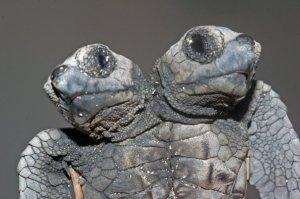 ~Two Headed Loggerhead